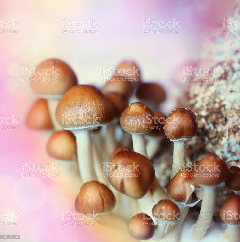 Psilocybe cubensis aka Magic Mushroom stock photo