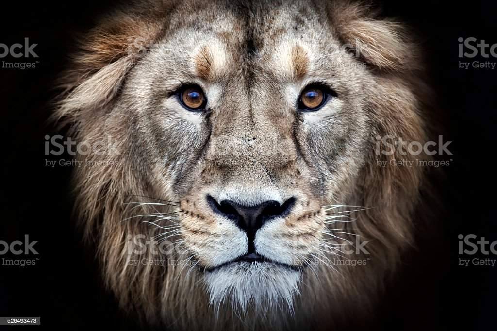 Psychedelic grunge style closeup portrait of an Asian lion. stock photo