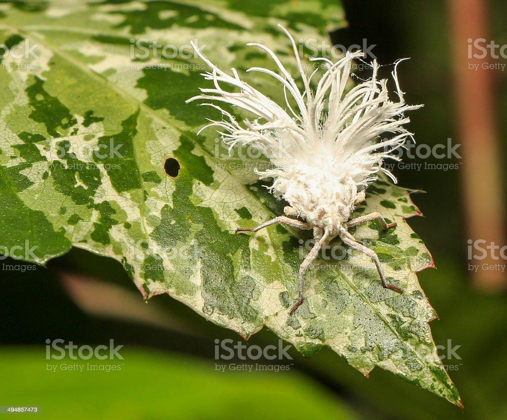 Psyllids planthopper nymph stock photo