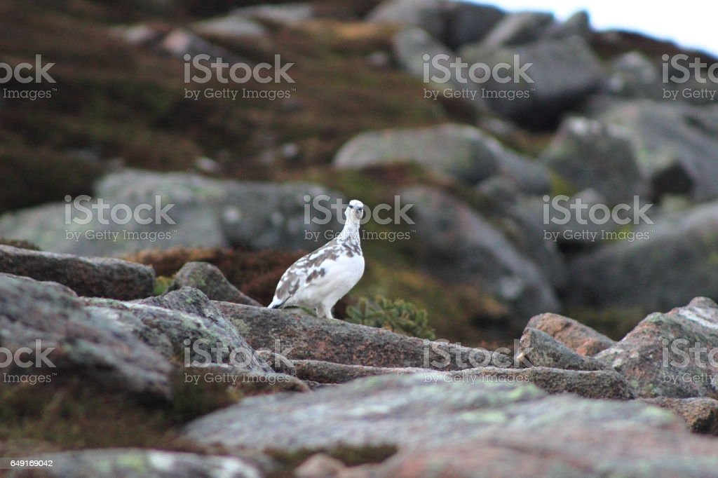 A Ptarmigan Bird Stares Into Camera On Ben Rinnes stock photo