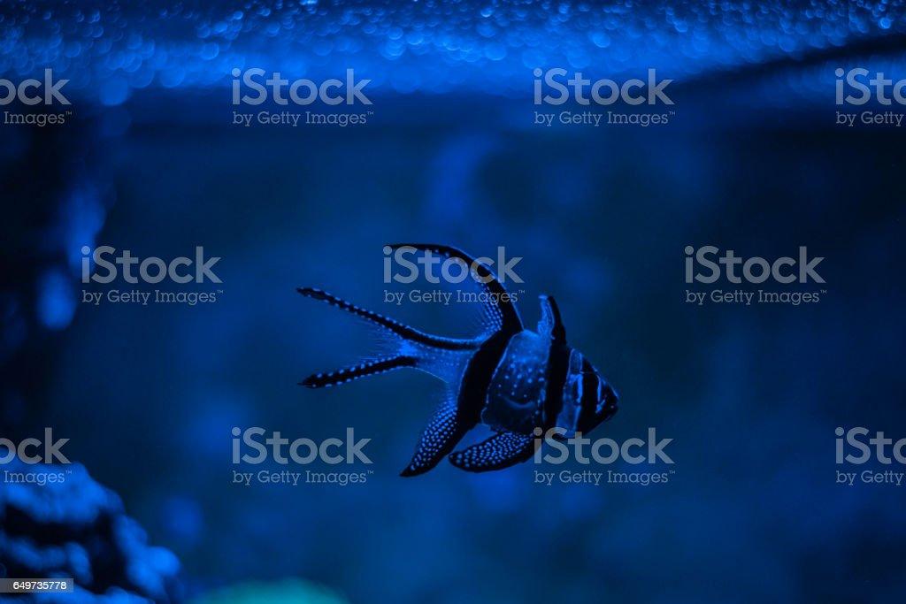 Pterapogon kauderni, Zebra apogon, Banggai cardinal fish. Clavularia. Reef tank marine aquarium. Blue aquarium full of plants. stock photo