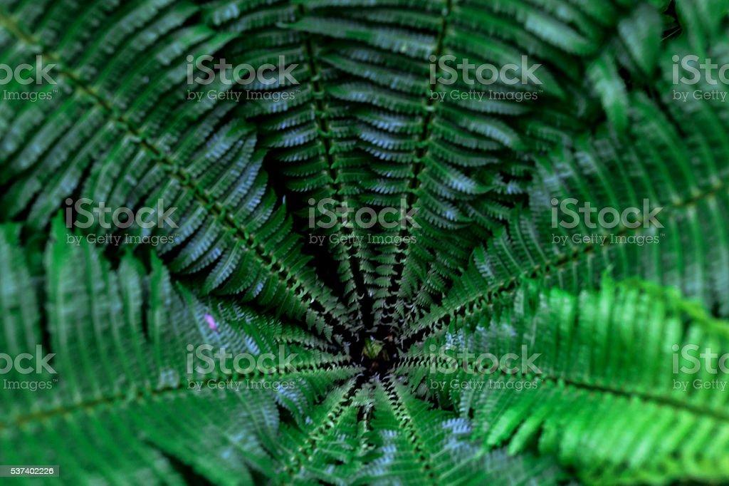 Pteridium aquilinum stock photo