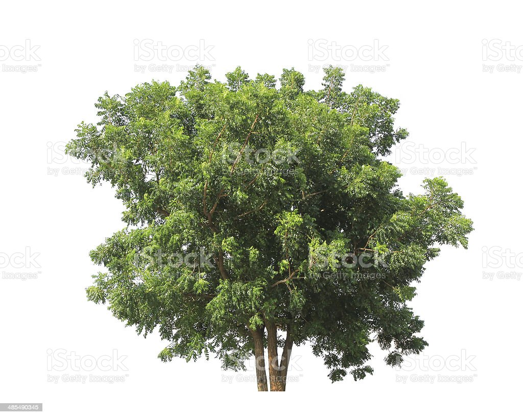 Pterocarpus indicus known by several common names, including Amb stock photo