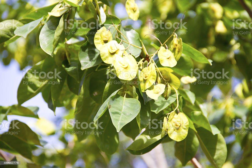 Pterocarpus indicus stock photo