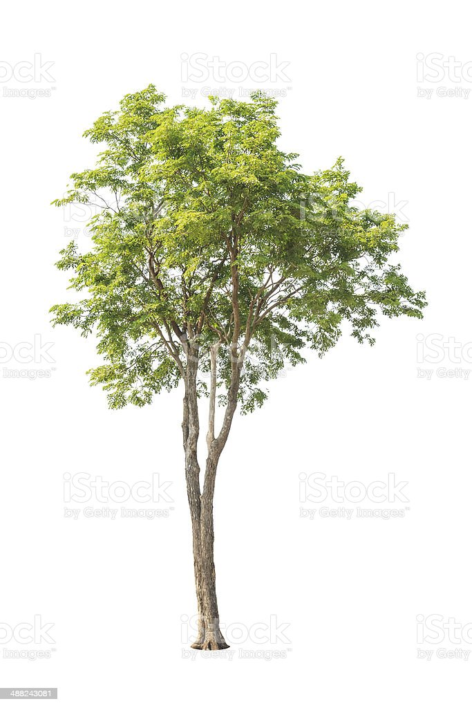 Pterocarpus indicus tree in Thailand isolated on white background stock photo