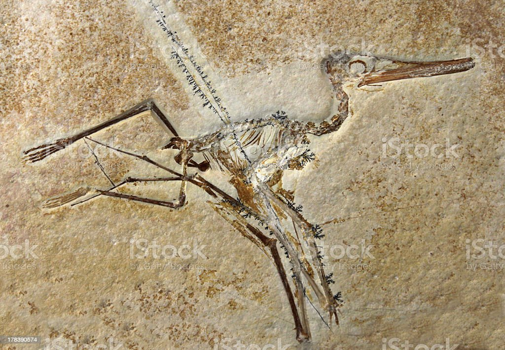 Pterodactylus Elegans Fossil stock photo