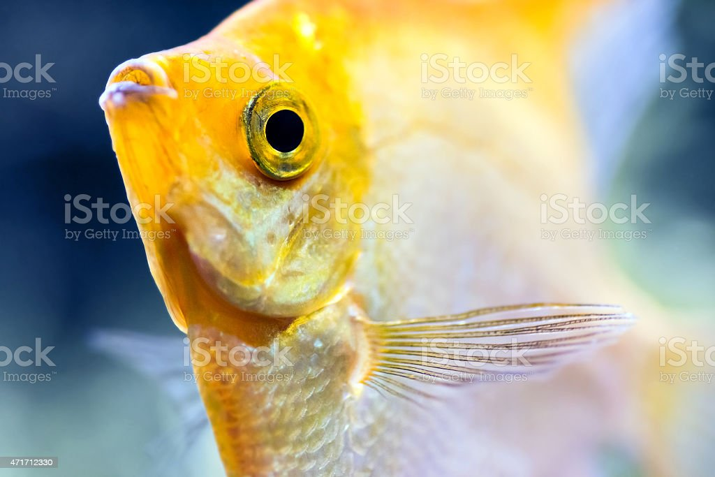 Pterophyllum Scalare yellow angel fish head macro selective focus stock photo