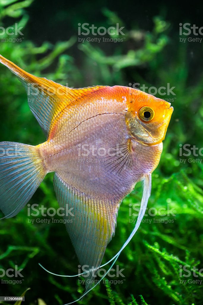 Pterophyllum Scalare yellow angel tropical fish underwater with plants stock photo