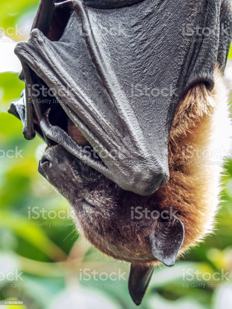 Pteropus sp. stock photo