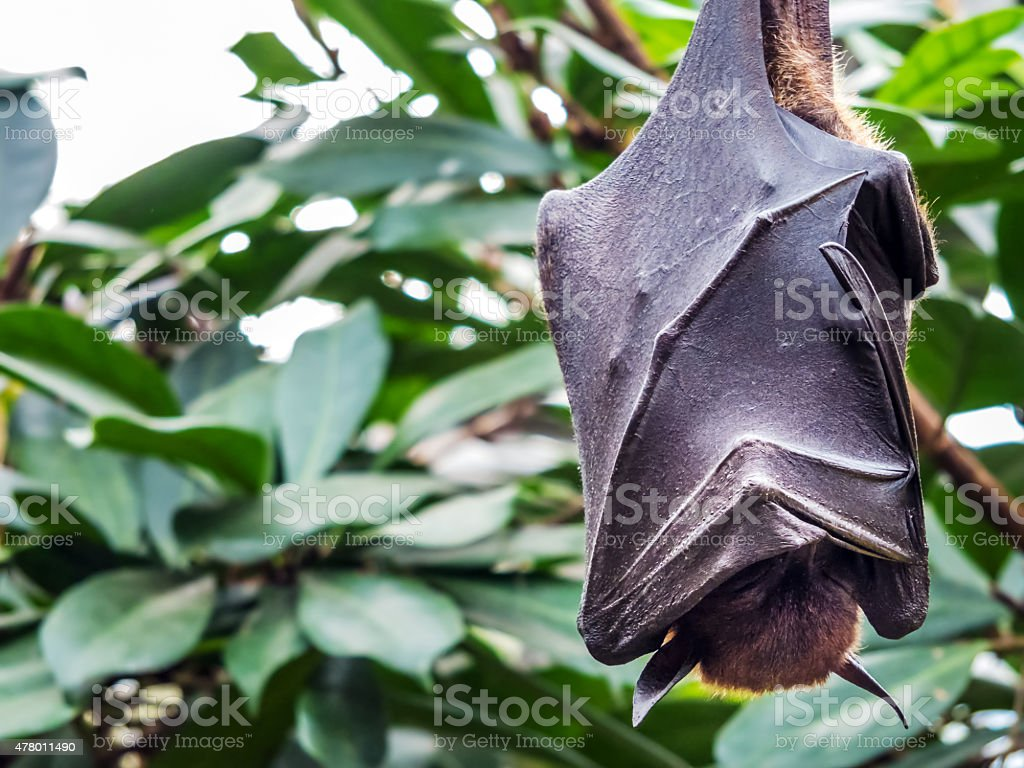 Pteropus sp. stock photo