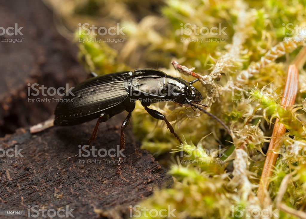 Pterostichus oblongopunctatus stock photo