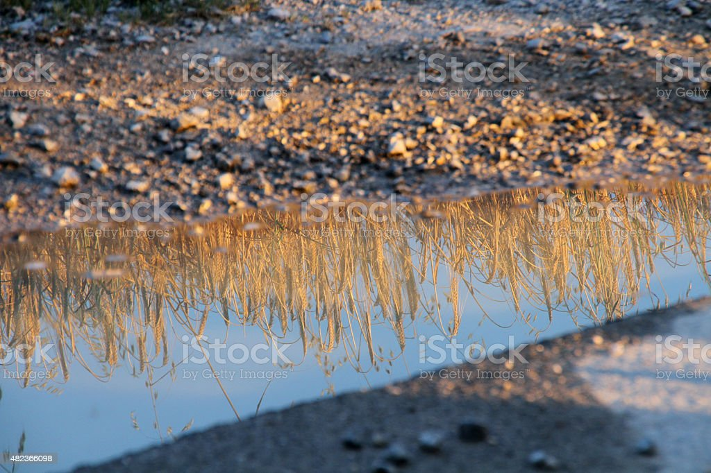 puddle with reflection of wheat after rain stock photo