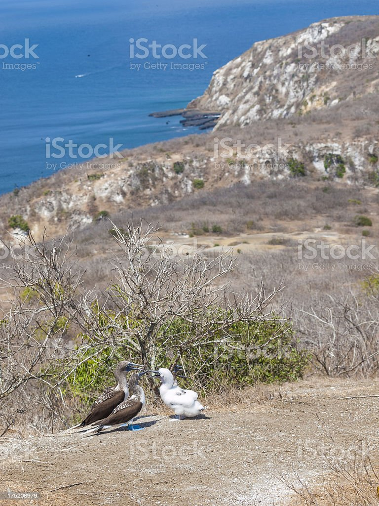 Puerto Lopez Ecuador Blue footed booby with offspring royalty-free stock photo