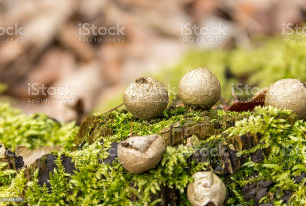 puffball fungi and moss stock photo