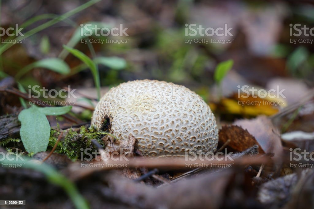 Puffball mushroom in a forest landscape stock photo