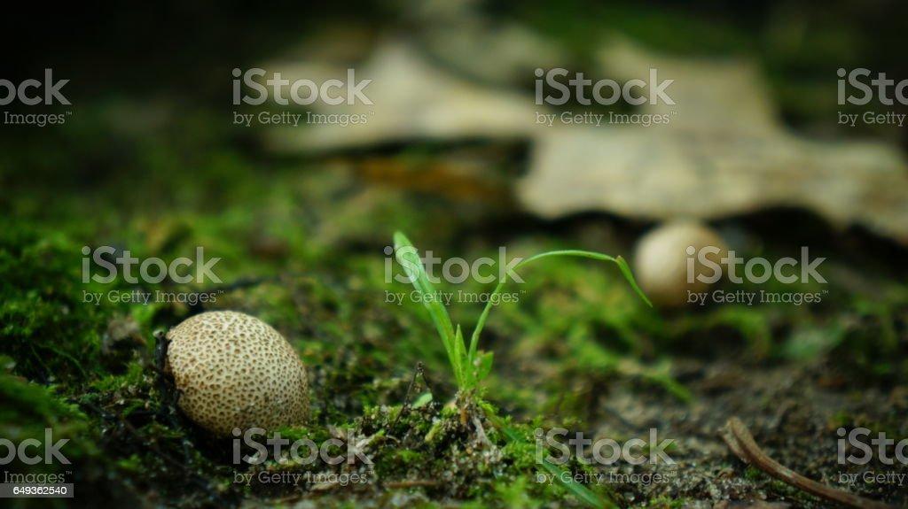 Puffball Mushroom Macro in the Moss stock photo