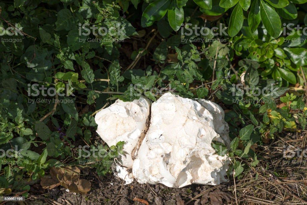 Puffball mushroom stock photo