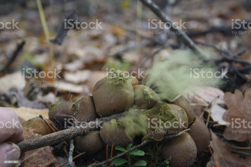 puffballs stock photo