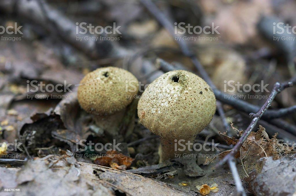 puff-balls stock photo