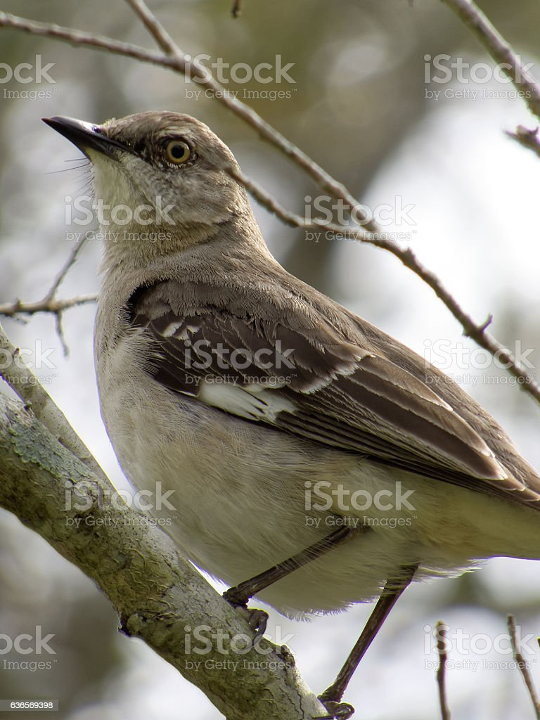Puffed Up Northern Mockingbird on Branch stock photo