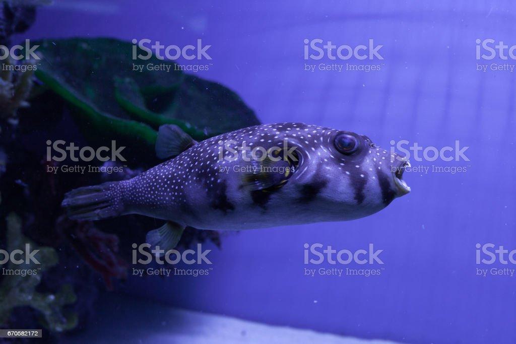 Puffer fish. Arothron hispidus stock photo