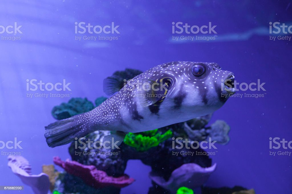 Puffer fish in aquarium. Arothron hispidus stock photo