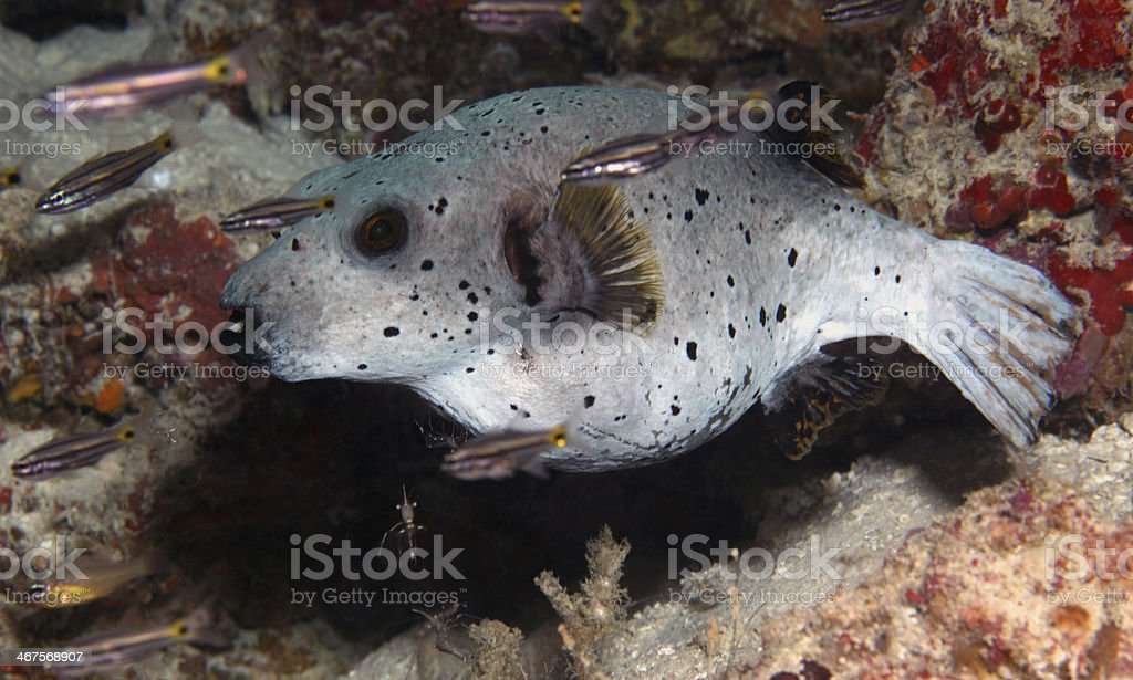 Puffer fish in coral reef stock photo