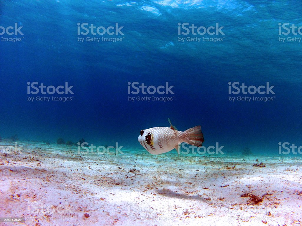 Puffer fish in the Red Sea, Egypt stock photo