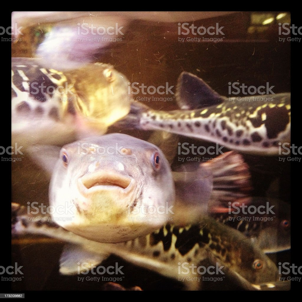 Puffer Fish outside Japanese Restaurant stock photo