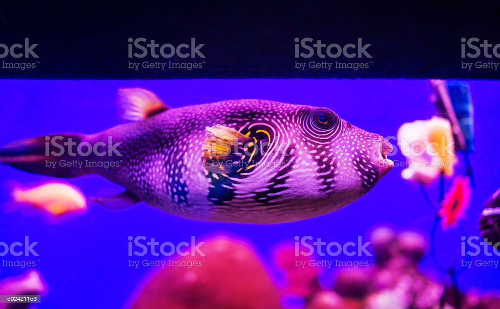 Puffer fish. stock photo