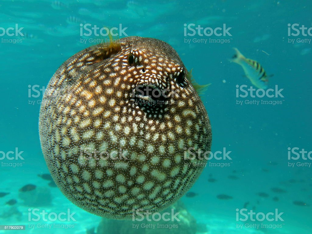 Puffer fish stock photo