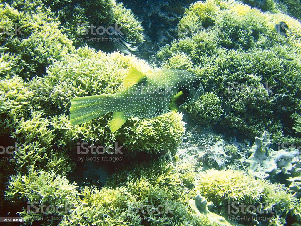Poisson-globe photo libre de droits
