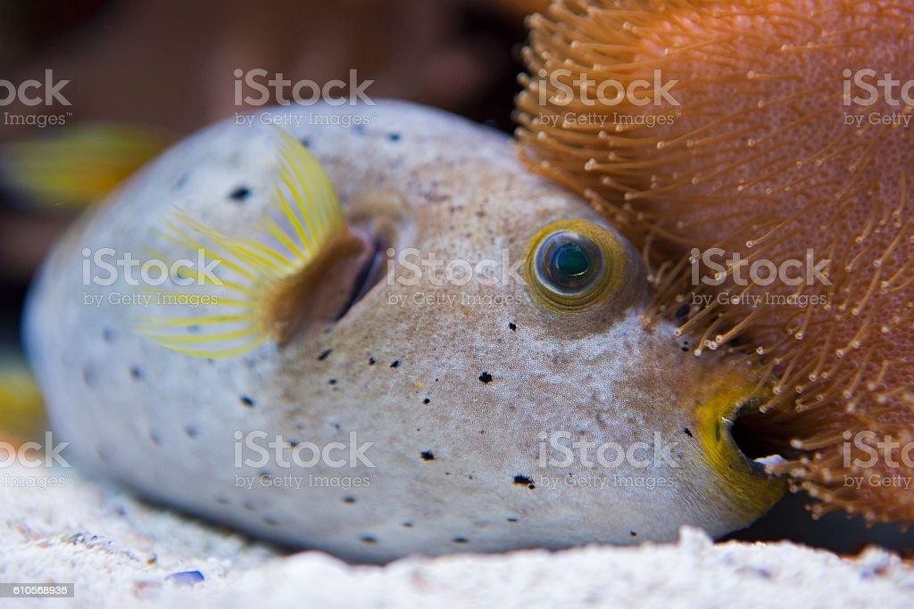 puffer fish stock photo
