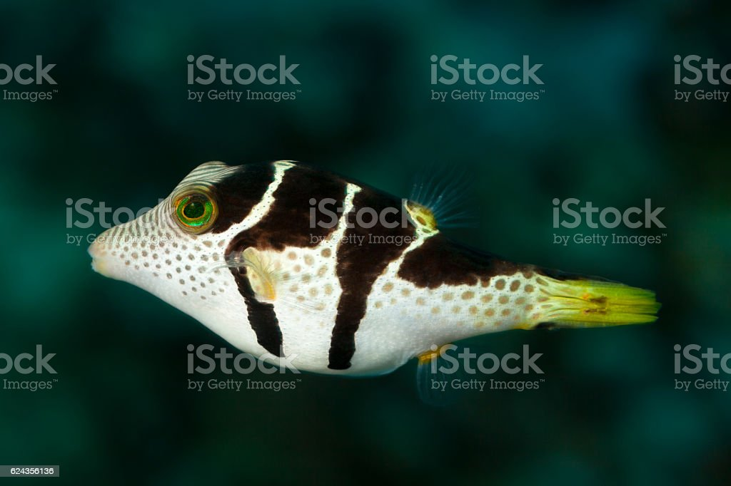 Pufferfish, Blacksaddled Sharpnose Puffer Canthigaster valentini, near Praslin, Seychelles. stock photo