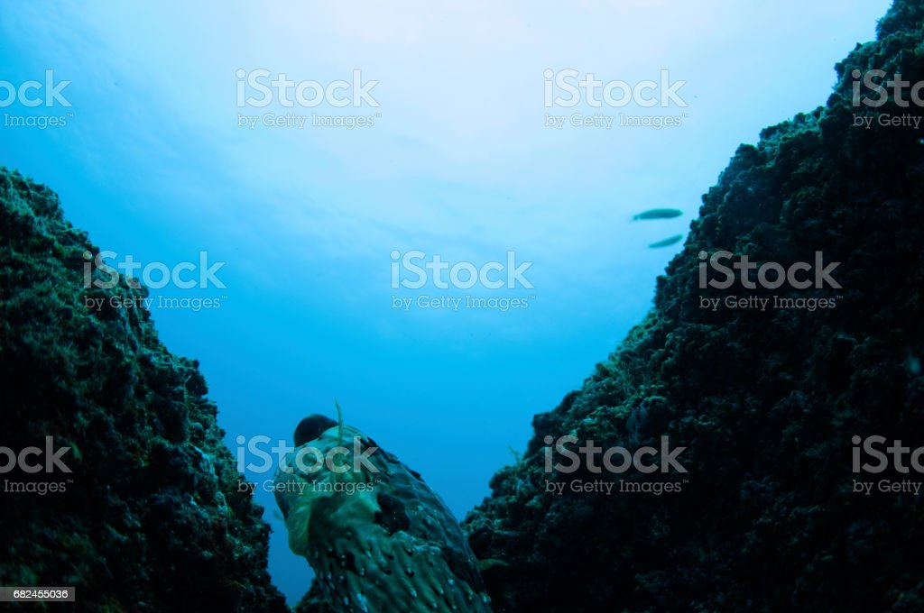 pufferfish emerging from a split in rock stock photo