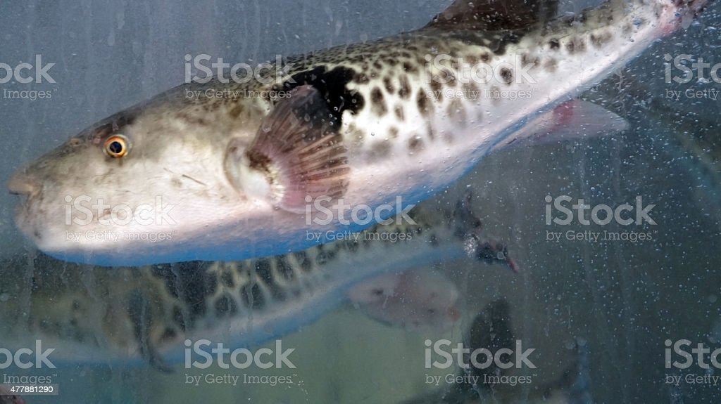 pufferfish for sashimi or fugu in Japanese food stock photo