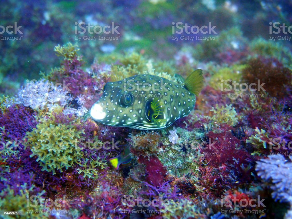 pufferfish on colourful corals stock photo