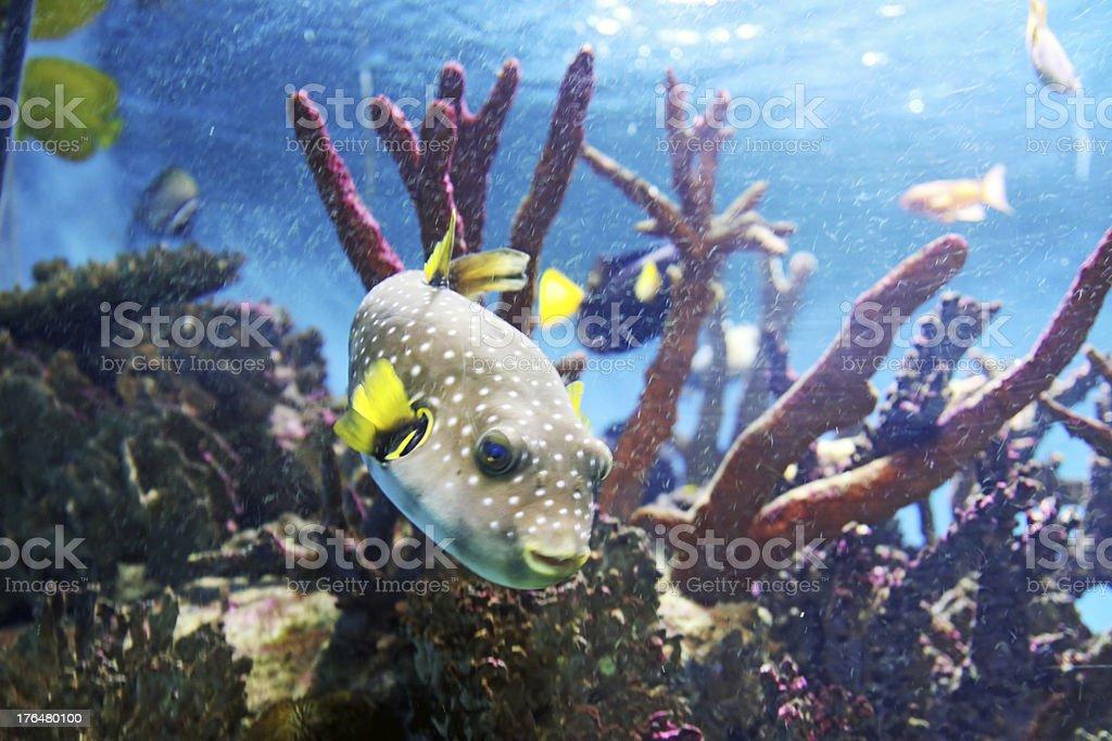 Pufferfish royalty-free stock photo