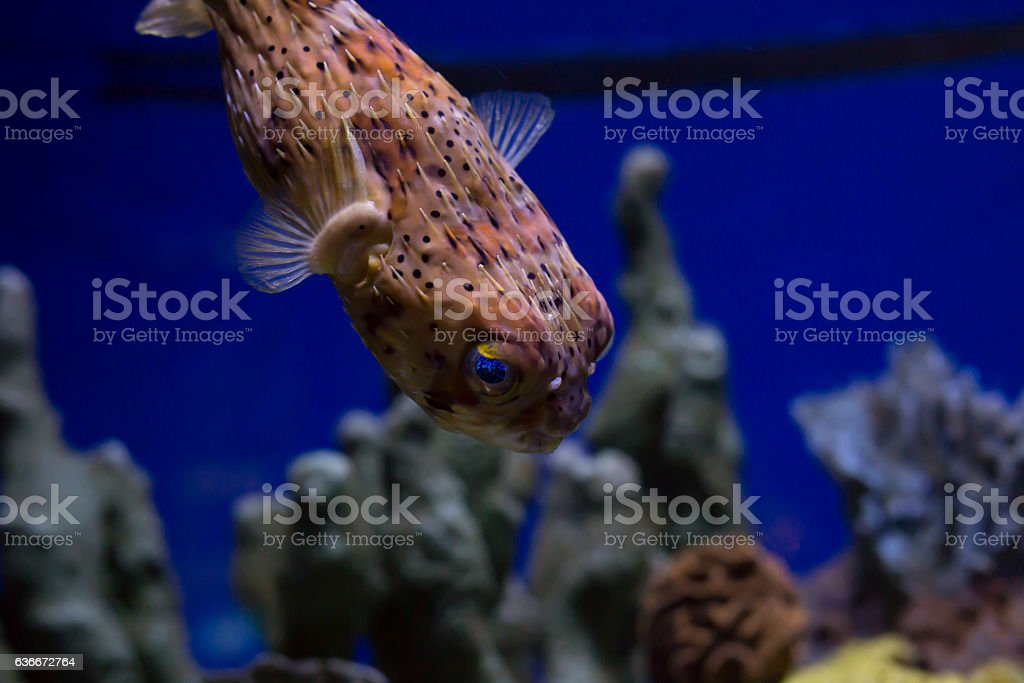 Pufferfish stock photo