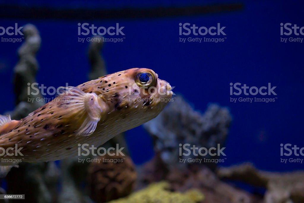 Pufferfish stock photo