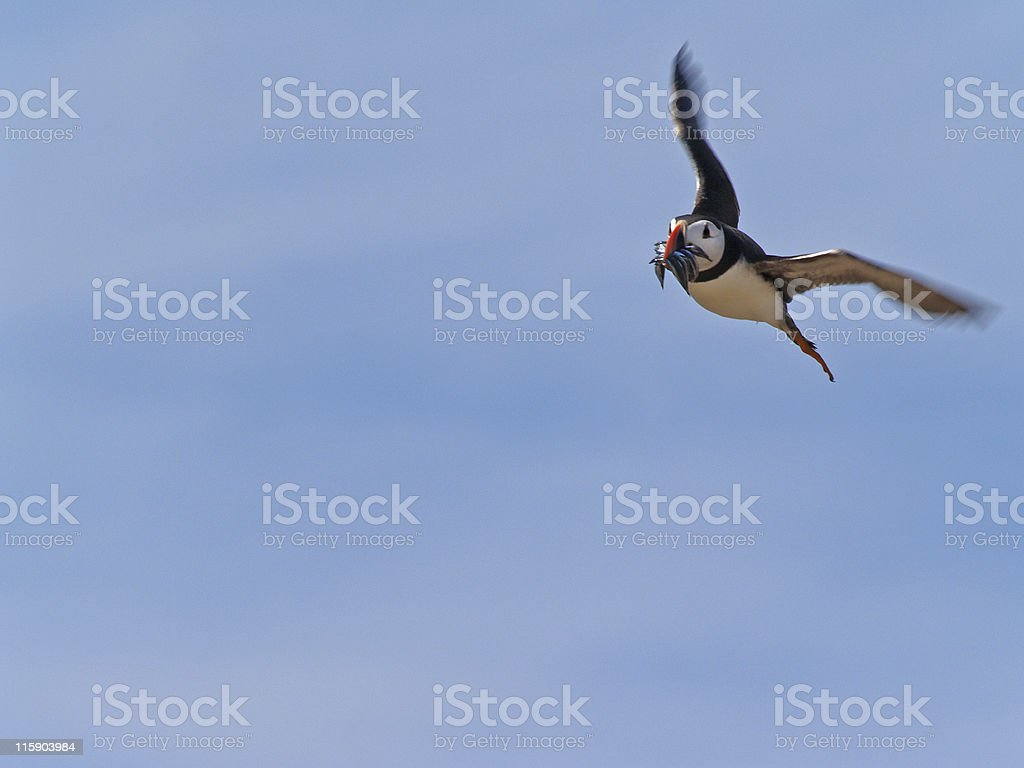 Puffin Bringing Food Home (Fratercula arctica) royalty-free stock photo
