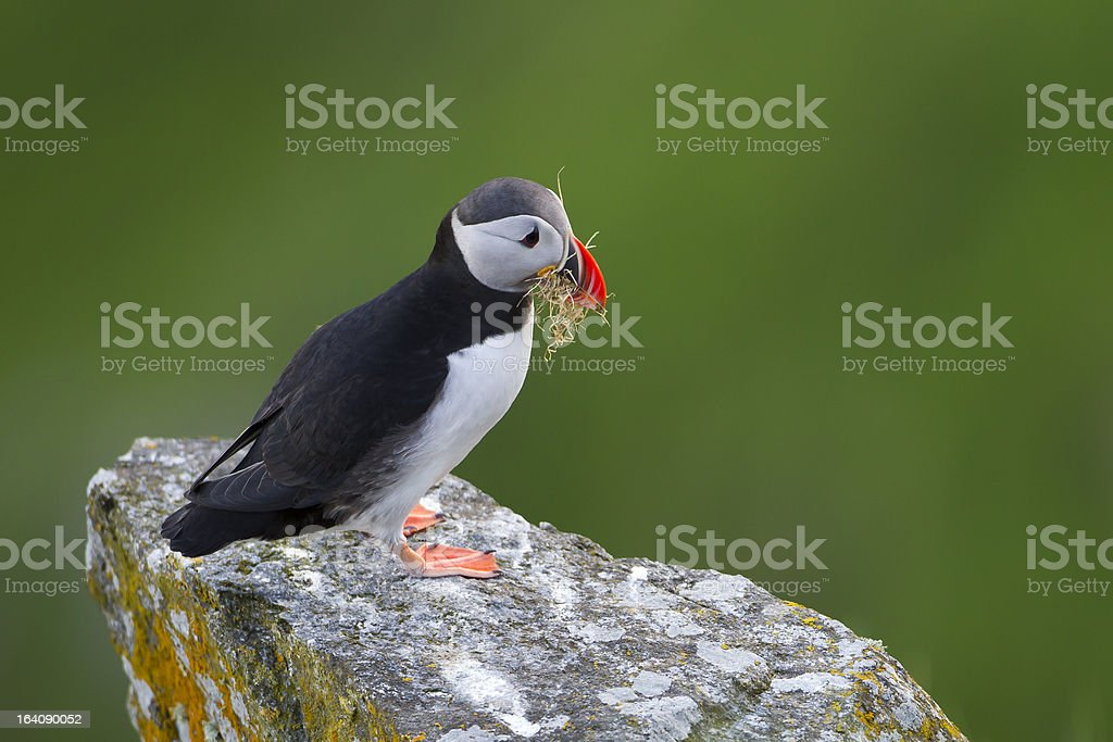 Puffin building a nest stock photo