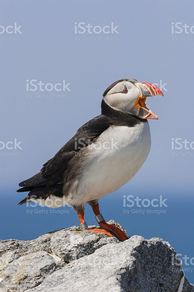 Puffin Calling royalty-free stock photo