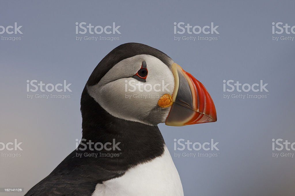 Puffin Close-up stock photo