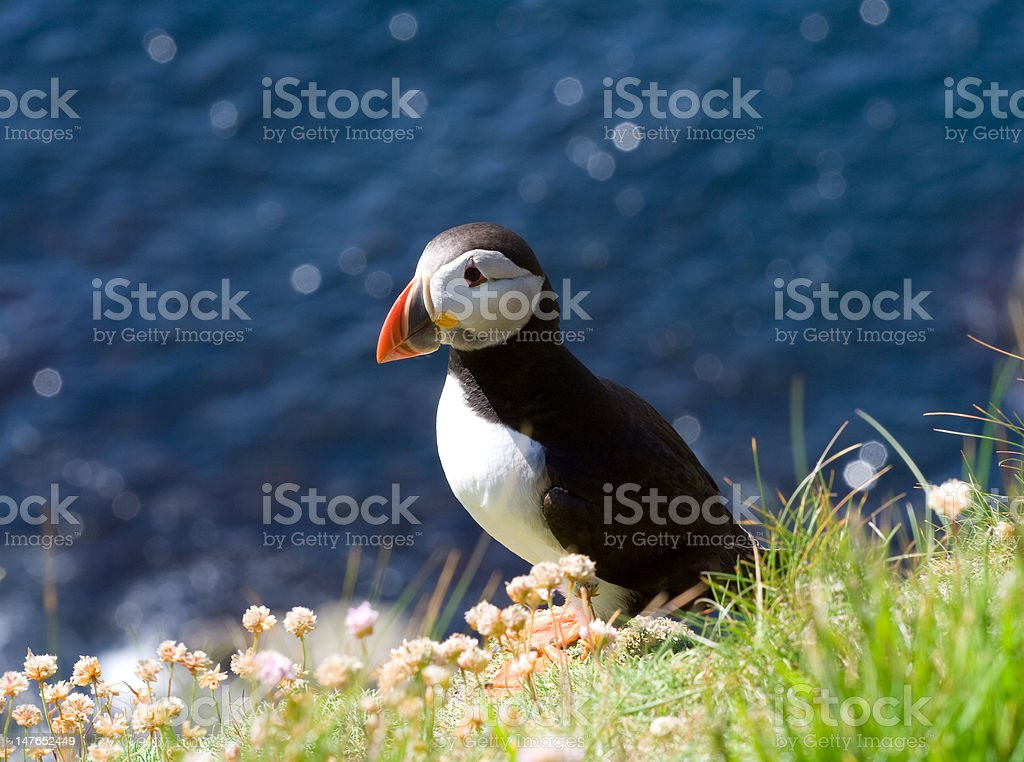 Puffin deciding royalty-free stock photo