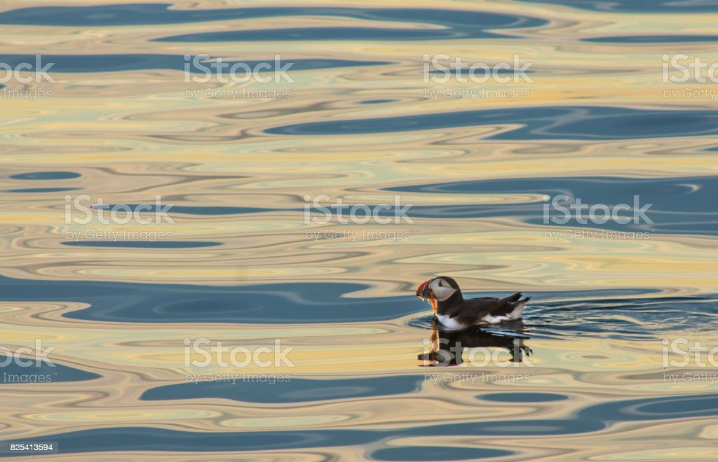 Puffin feeding on blue and yellow water stock photo