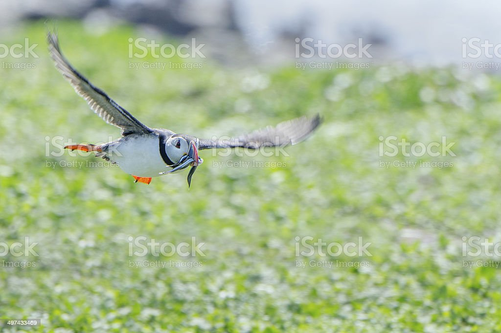 Puffin Flying stock photo