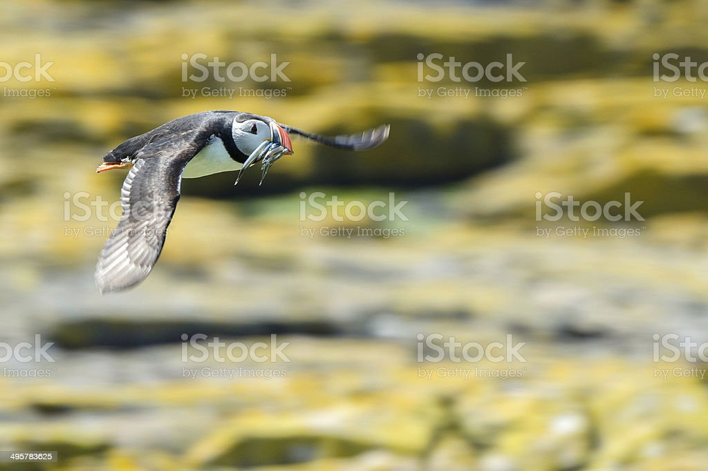 Puffin in Flight stock photo