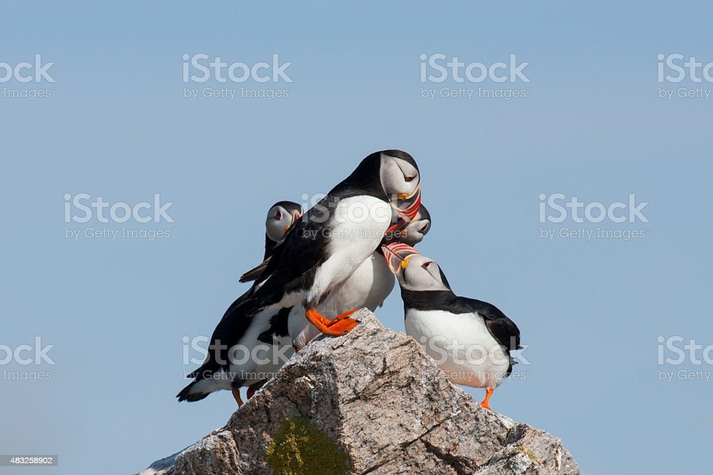 puffin king of hill stock photo
