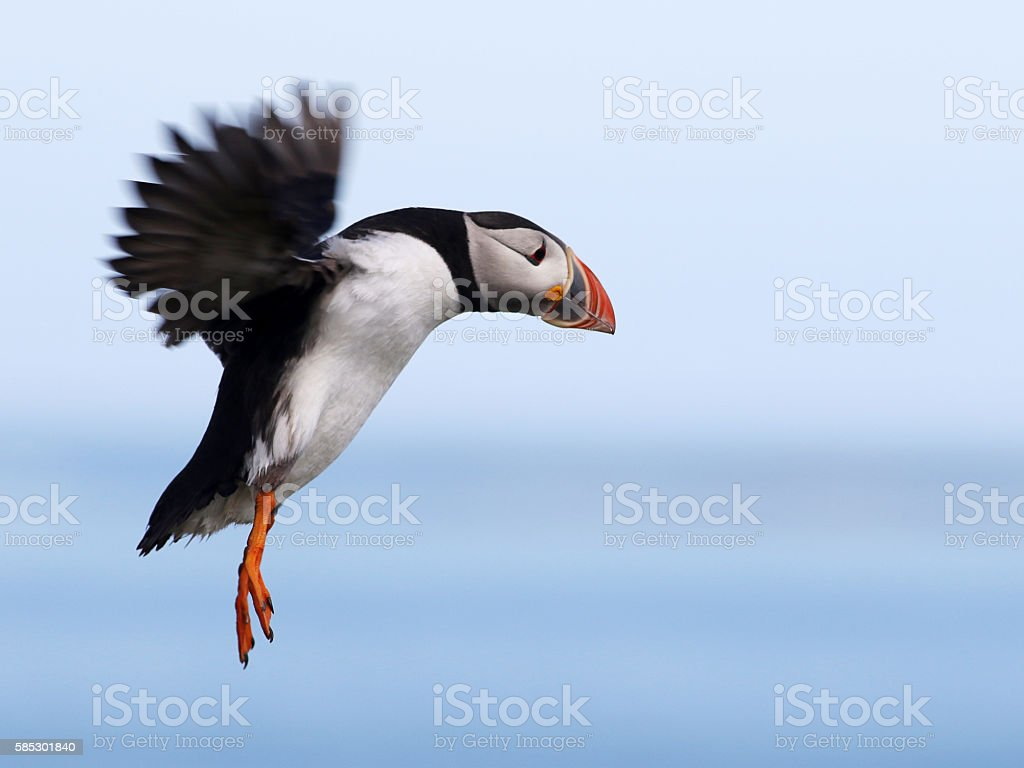 Puffin landing on the Farne Islands, Northumberland stock photo